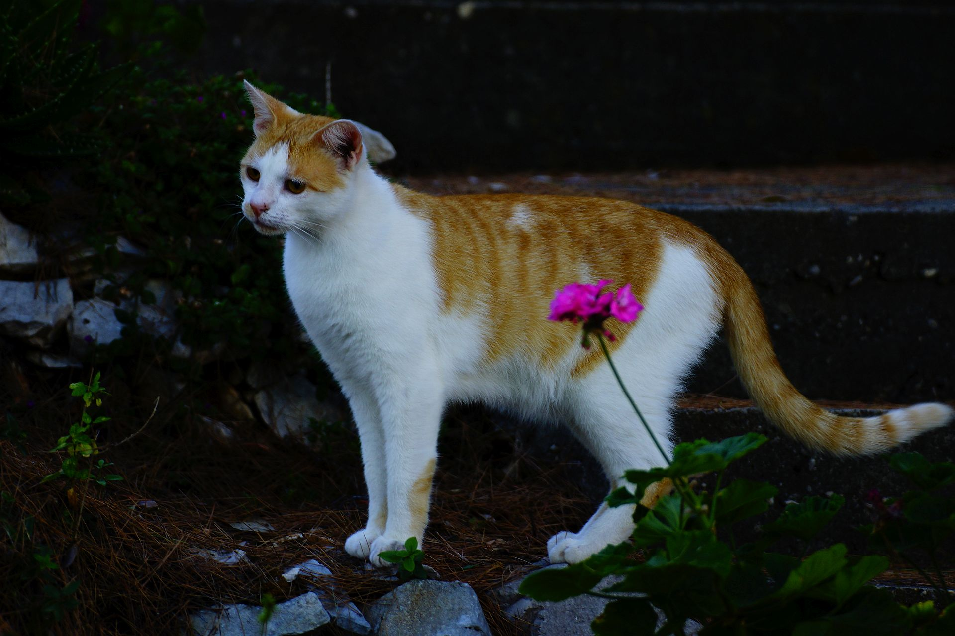 kot Bałkany