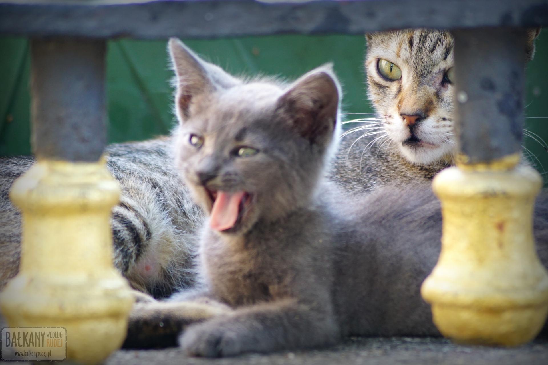 Koty Stambuł