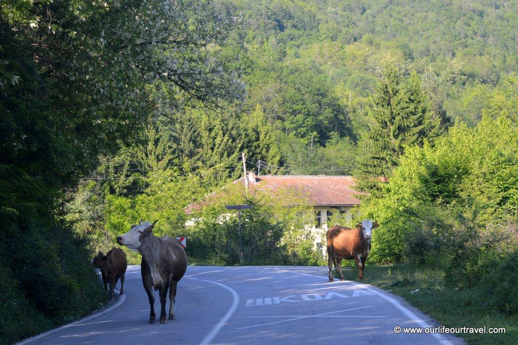 krowy_na_drodze